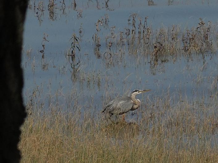 Les-amis-du-marais-heron
